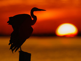 Silhouette of Great Blue Heron Stretching Wings at Sunset, Fort De Soto Park, St. Petersburg Photographic Print by Arthur Morris.