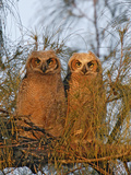 Great Horned Owlets on Tree Limb, De Soto, Florida, USA Photographic Print by Arthur Morris