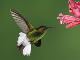 Coppery-Headed Emerald in Flight Feeding on Shrimp Plant, Central Valley, Costa Rica Photographic Print by Rolf Nussbaumer