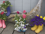 Colorful Rubber Boots Used as Flower Pots, Homer, Alaska, USA Photographic Print by Dennis Flaherty