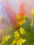 Abstract of Poppies and Wildflowers, Antelope Valley, California, USA Photographic Print by Ellen Anon