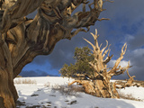 Ancient Bristlecone Pine Trees, White Mountains, California, USA Photographic Print by Dennis Flaherty