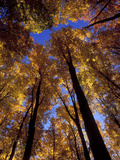 Blue Sky Through Sugar Maple Trees in Autumn Colors, Upper Peninsula, Michigan, USA Photographic Print by Mark Carlson