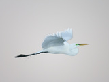Flying Great Egret in Predawn at the Venice Rookery, South Venice, Florida, USA Photographic Print by Arthur Morris
