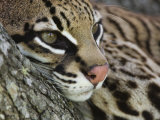 Ocelot Female Resting on Mesquite Tree, Welder Wildlife Refuge, Sinton, Texas, USA Photographic Print by Rolf Nussbaumer
