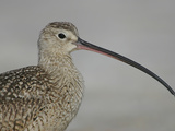 Portrait of Long-Billed Curlew at Fort De Soto Park, De Soto, Florida, USA Papier Photo par Arthur Morris