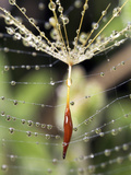 Close-up of Water Droplets on Dandelion Seed Caught in Spider Web, San Diego, California, USA Photographic Print by Christopher Talbot Frank