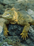Detail of Land Iguana on Volcanic Rock, Galapagos Islands, Ecuador Photographic Print by Jim Zuckerman