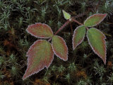 Blackberry Bramble Leaves and Hair Cap Moss with Frost, Upper Peninsula, Michigan, USA Photographic Print by Mark Carlson