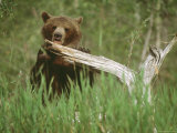 Grizzly Bear Licks Dead Tree Branch, Alaska, USA Photographic Print by Jim Zuckerman