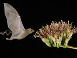 Lesser Long-Nosed Bat in Flight Feeding on Agave Blossom, Tuscon, Arizona, USA Photographic Print by Rolf Nussbaumer