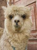 Llama, Cuzco, Peru Fotoprint van John & Lisa Merrill