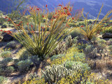 Blooming Ocotillo Cactus and Brittlebush Desert Wildflowers, Anza-Borrego Desert State Park Photographie par Christopher Talbot Frank
