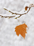 Lone Leaf Clings to a Snow-Covered Sycamore Tree Branch Photographic Print by Dennis Flaherty