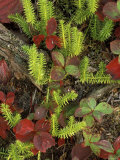 Club Moss and Bunchberry in Autumn Colors, Upper Peninsula, Michigan, USA Photographic Print by Mark Carlson