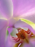 Backlit Phalaeonopsis Orchid, Alpharetta, Georgia, USA Photographic Print by Charles R. Needle