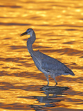 Great Blue Heron in Golden Water at Sunset, Fort De Soto Park, St. Petersburg, Florida, USA Photographic Print by Arthur Morris