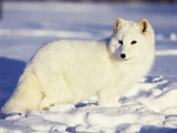 Arctic Fox in Winter Coat, Alaska, USA Photographic Print by Jim Zuckerman