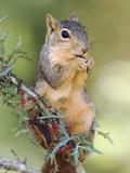 Eastern Fox Squirrel Eating Berries, Uvalde County, Hill Country, Texas, USA Fotografisk trykk av Rolf Nussbaumer