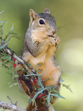 Eastern Fox Squirrel Eating Berries, Uvalde County, Hill Country, Texas, USA Photographic Print by Rolf Nussbaumer