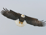 Bald Eagle Flying with Full Wingspread, Homer, Alaska, USA Photographic Print by Arthur Morris