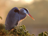 Great Blue Heron Perches on a Tree at Sunrise in the Wetlands, Wakodahatchee, Florida, USA Photographic Print by Jim Zuckerman