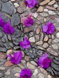 Fallen Bougainvillea Petals on Cobblestones, San Miguel De Allende, Mexico Fotografie-Druck von Nancy Rotenberg