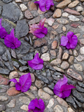 Fallen Bougainvillea Petals on Cobblestones, San Miguel De Allende, Mexico Photographic Print by Nancy Rotenberg