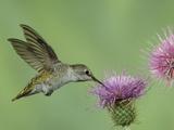 Female Anna's Hummingbird at Thistle, Paradise, Chiricahua Mountains, Arizona, USA Photographie par Rolf Nussbaumer