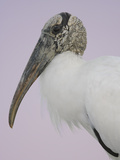 Pre-Dawn Close-up of Wood Stork, Fort De Soto Park, Florida, USA Photographic Print by Arthur Morris