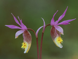 Pair of Calypso Orchids, Upper Peninsula, Michigan, USA Photographic Print by Mark Carlson