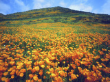 California Poppies, Lake Elsinore, California, USA Photographie par Christopher Talbot Frank