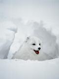 Arctic Fox in Winter Coat, Alaska, USA Photographic Print by Jim Zuckerman