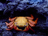 Detail of Sally Lightfoot Crab on Black Lava, Galapagos Islands, Ecuador Photographic Print by Jim Zuckerman