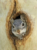 Grey Squirrel in Sycamore Tree Hole, Madera Canyon, Arizona, USA Photographic Print by Rolf Nussbaumer