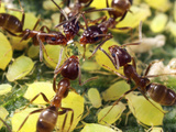 Close-up of Ants Harvesting Honeydew from Aphids, Lakeside, California, USA Photographic Print by Christopher Talbot Frank