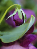 Close-up of Bud Opening in Spring Photographic Print by Nancy Rotenberg