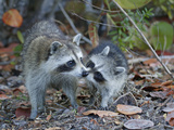 Young Raccoon Kissing Adult, Ding Darling National Wildlife Refuge, Sanibel, Florida, USA Photographic Print by Arthur Morris