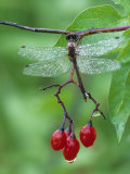 Dragonfly on Branch Photographic Print by Nancy Rotenberg