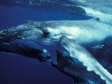 Humpback Whale with Calf Photographic Print by Amos Nachoum