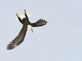 Bald Eagle Dive for Prey, Homer, Alaska, USA Fotografie-Druck von Arthur Morris