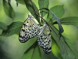 Japanese Kite Butterflies Mating, Florida, USA Fotografie-Druck von Nancy Rotenberg