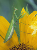 Female Praying Mantis with Egg Sac on Sunflower Photographic Print by Nancy Rotenberg