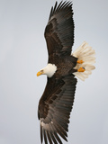 Bald Eagle in Flight with Wingspread, Homer, Alaska, USA Fotografie-Druck von Arthur Morris