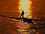 Silhouette of Brown Pelican Taking Flight, Bolsa Chica Lagoon, California, USA Photographic Print by Arthur Morris