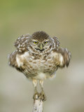 Close-up of Burrowing Owl Shaking Its Feathers on Fence Post, Cape Coral, Florida, USA Photographie par Ellen Anon