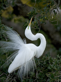 Great Egret Exhibiting Sky Pointing on Nest, St. Augustine, Florida, USA Photographie par Jim Zuckerman