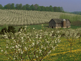 Old Barn Next to Blooming Cherry Orchard and Field of Dandelions, Leelanau County, Michigan, USA Photographic Print by Mark Carlson
