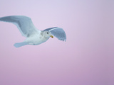 Glaucous-Winged Gull Flying Against Pre-Dawn Sky, Homer, Alaska, USA Photographic Print by Arthur Morris