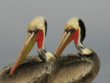 Two Brown Pelicans Preening in Rhythm, La Jolla, California, USA Photographic Print by Arthur Morris